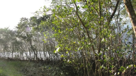 Figura 04. Vegetação de manguezal perturbado nos fundos de um estacionamento. Ao fundo as águas do Canal de Bertioga. Espécimes de Rizophoramangle, Lagunculariaracemosa e Avicennniaschauerianna.