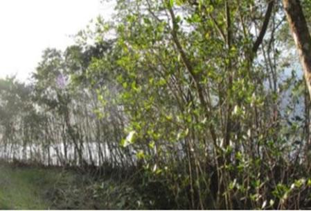 Figura 04. Vegetação de manguezal perturbado nos fundos de um estacionamento. Ao fundo as águas do Canal de Bertioga. Espécimes de Rizophora mangle, Laguncularia racemosa e Avicennia schauerianna.