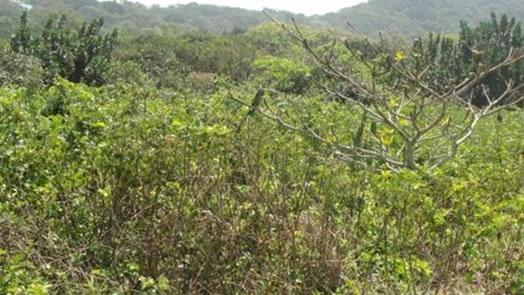 Figuras 16 e 17. Vista de áreas de vegetação de escrube perturbado na Prainha Branca, com presença de espécies típicas como cactos, arbustos e bromélias.