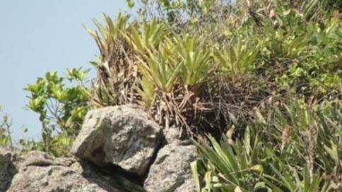 Figura 15. Vegetação rupestre de Costão Rochoso. Bromélias e vegetação arbustiva pouco desenvolvida.